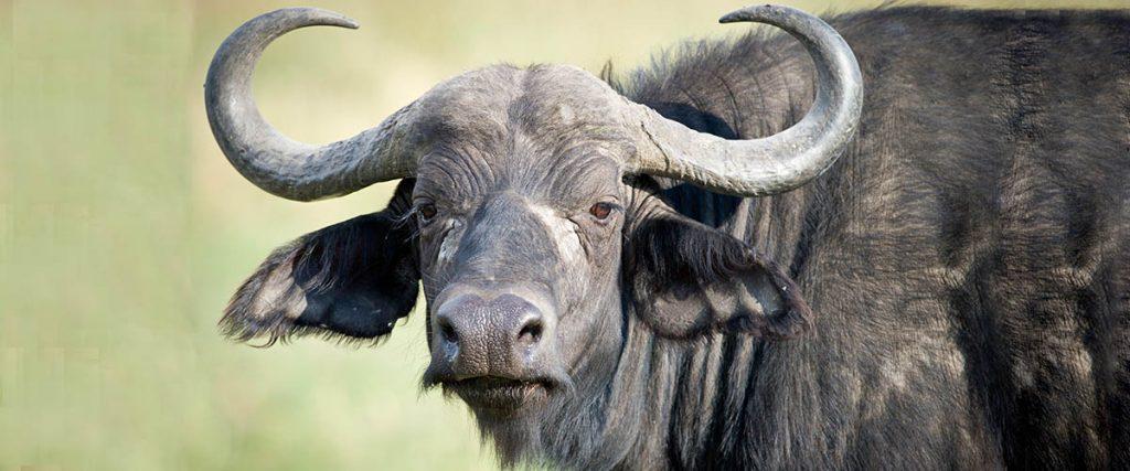 large, black water buffalo looking straight at the camera